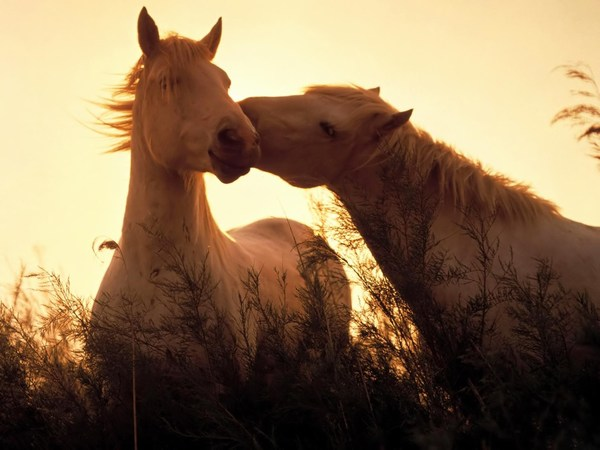 Sweet Love Images of White Horses for Desktop Background