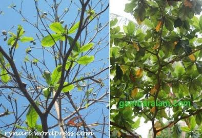 Pohon ketapang meranggas