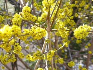 spring yellow cornellian cherry cornus mas blooms by garden muses: a toronto gardening blog