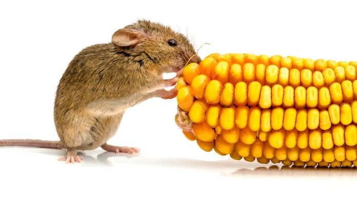 Il topo insaziabile - Anonimo