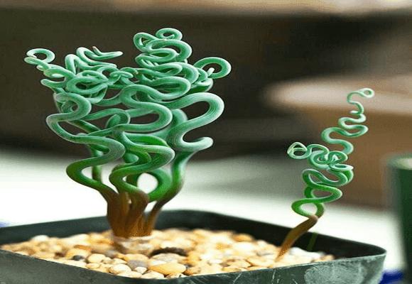 Natureza-Trachyandra
