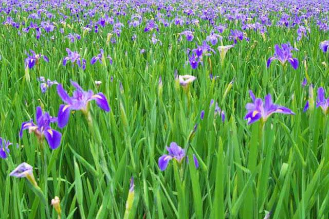 Purple iris flowers in full bloom in Kijoka, Ogimi, Okinawa