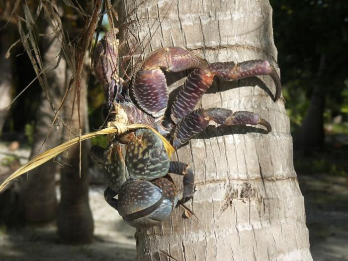 giant coconut crab facts - photo #28