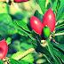 Cara Menanam Buah Ajaib, Menyemai Biji Dan Stek Miracle Fruit