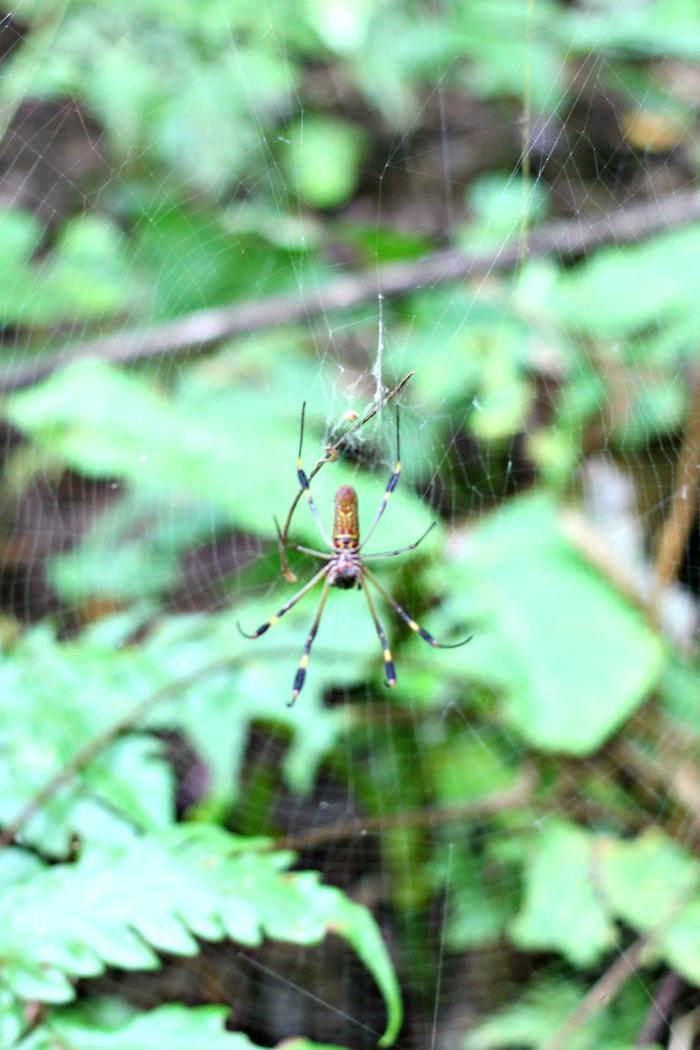 Banana Spider Golden Orb Spider in Costa Rica