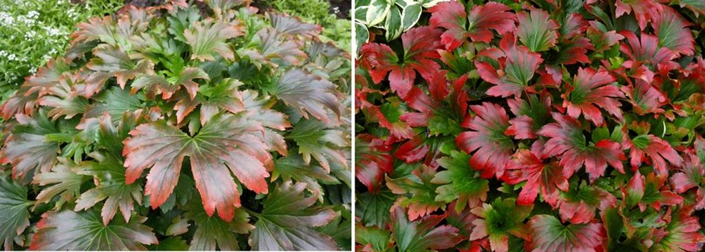 byliny o przebarwiających się liściach, byliny do półcienia