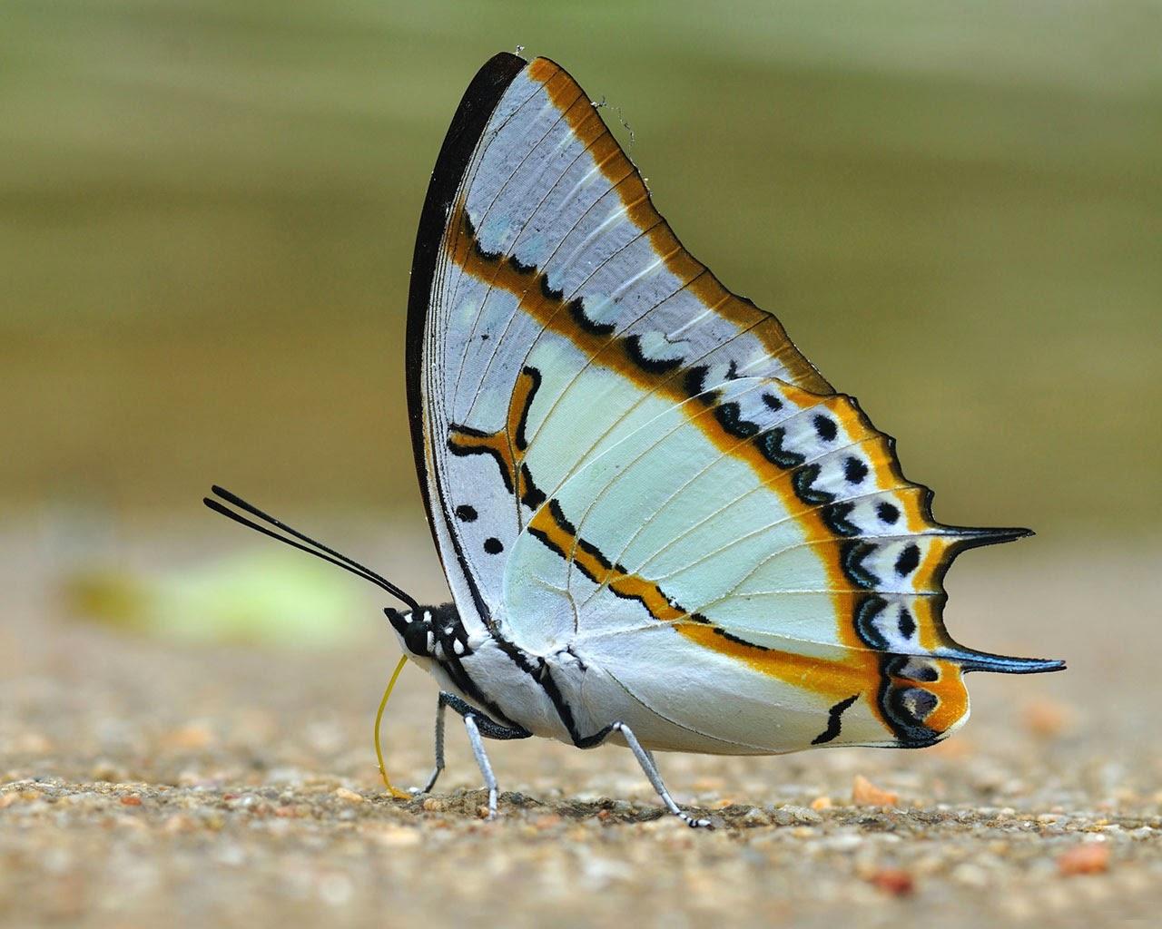 warna campuran kupu-kupu-putih