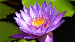 Sri Lanka National Flower Water Lily.