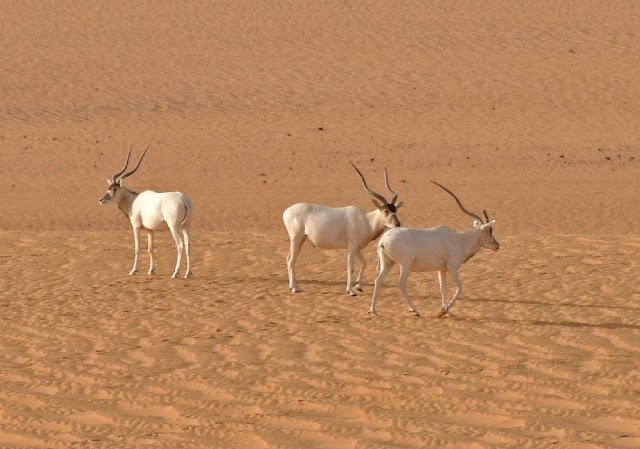 Saharan Addax antelope faces 'imminent extinction'