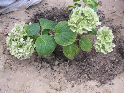 гортензия-на-песчаной-почве
