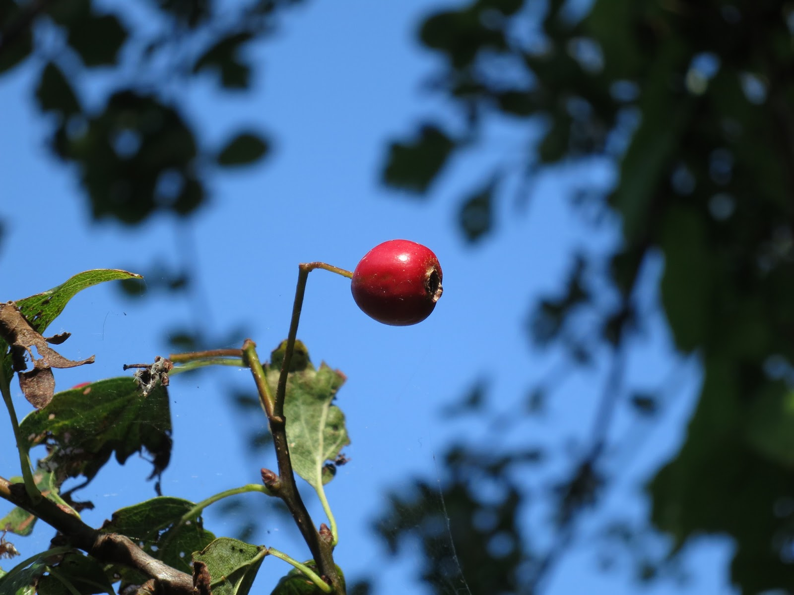 A single red haw against blue sky with end of summer hawthorn leaves