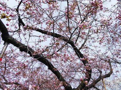 大阪造幣局 桜の通り抜け 普賢象(ふげんぞう)