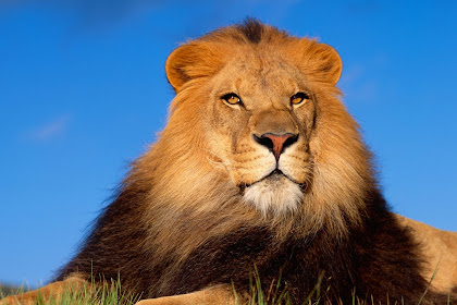 All Posts About Lion 3d Wallpaper Hd 1080p Free Download On This