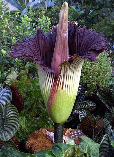 Amorphophallus titanum (Flor Cadáver)