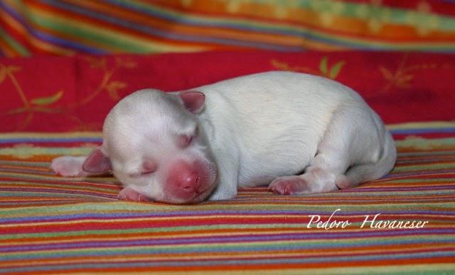 Havaneserwelpe Hündin Farbe weiß neugeboren PEDORO HAVANESER