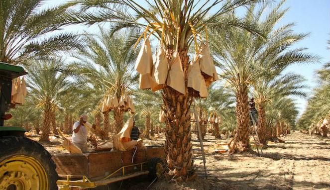 Kota Kurma Internasional di Madinah Resmi Diluncurkan
