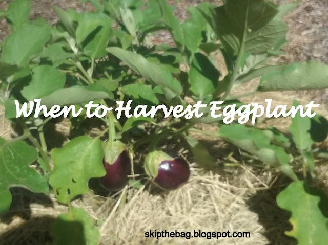 when to pick eggplant orange eggplant