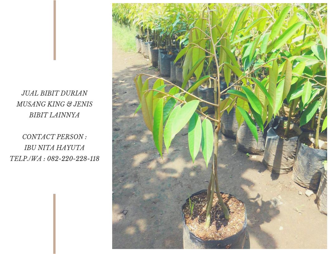 Bibit Durian Musang King Bandung Bibit Durian Musang King Sabah Spesial 082 220 228 118 Harga Bibit Durian Bawor Harga Bibit Durian Bawor Super