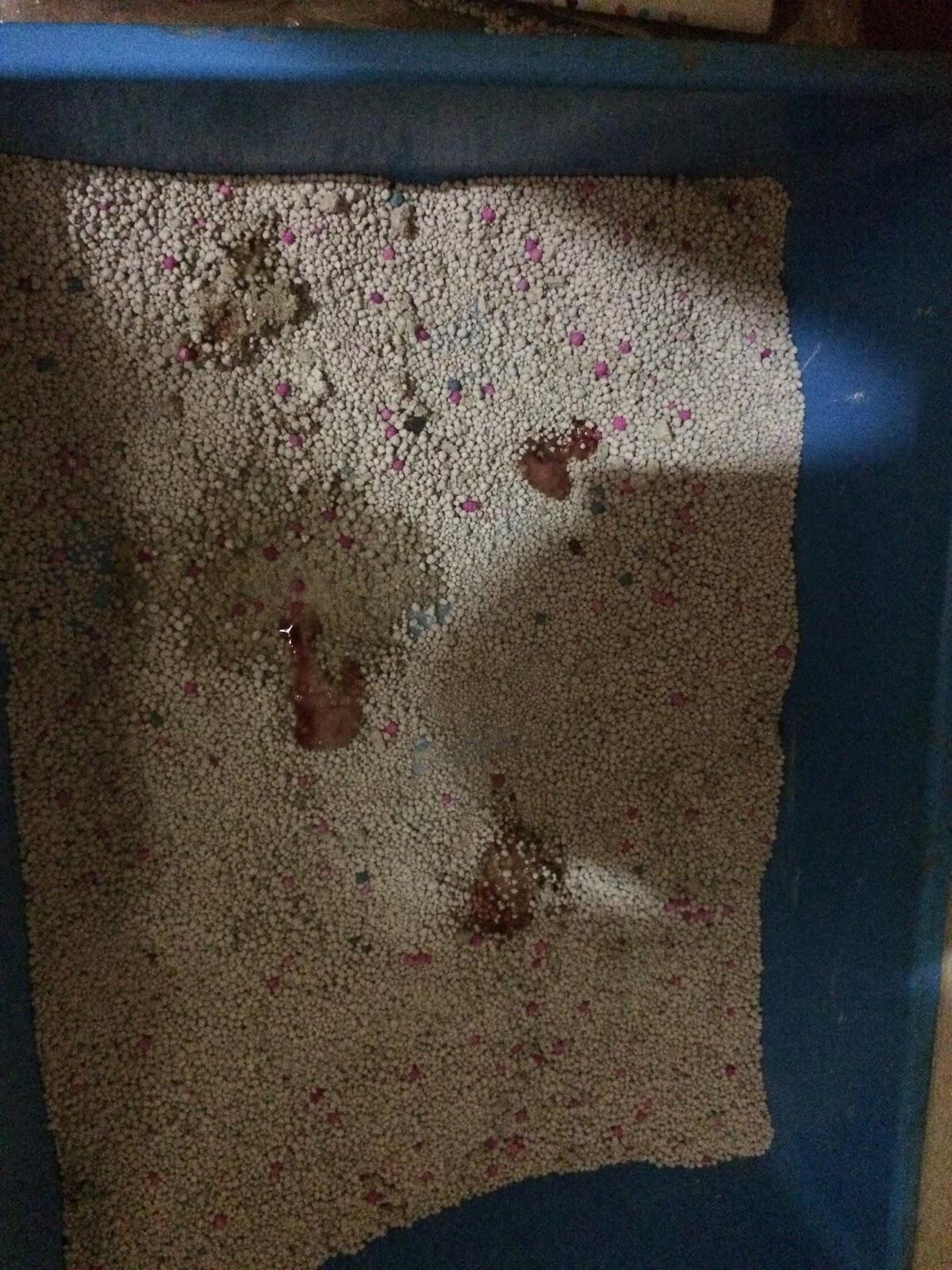 Kucing cirit birit berdarah