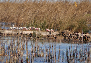 several large pink spoonbill birds among reeds