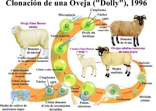 Dolly la oveja clonación