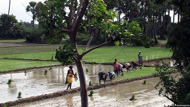 வாழும் கதைகள்..! India-planting-of-rice