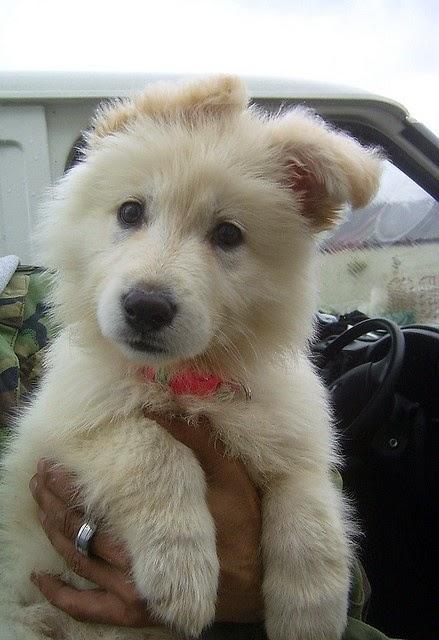 A white german shepherd ... Want!!!