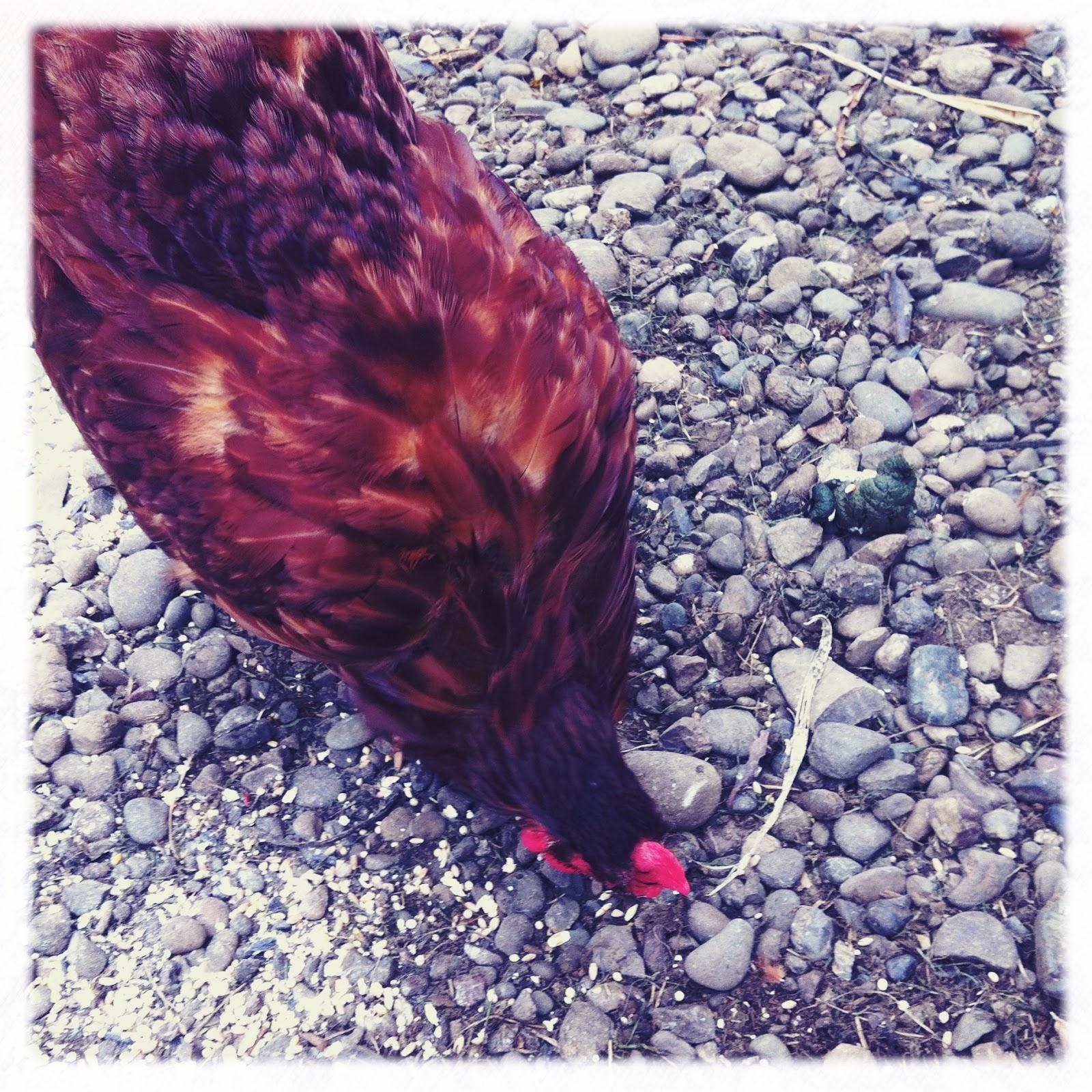 Branch Habitat Chicken Chronicles First Molt