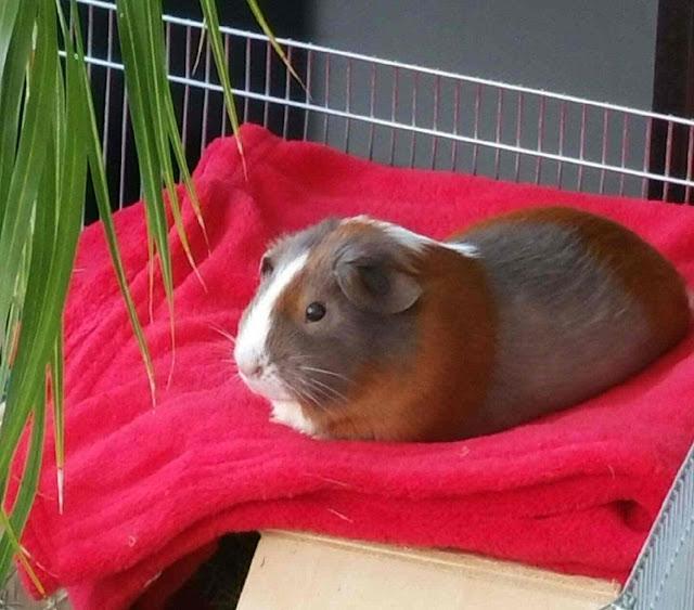 Meerschweinchen verstehen: Meerschweinchen Holly auf der Kuscheldecke