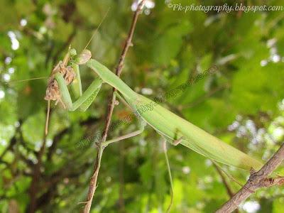 What Do Praying Mantis Eat?