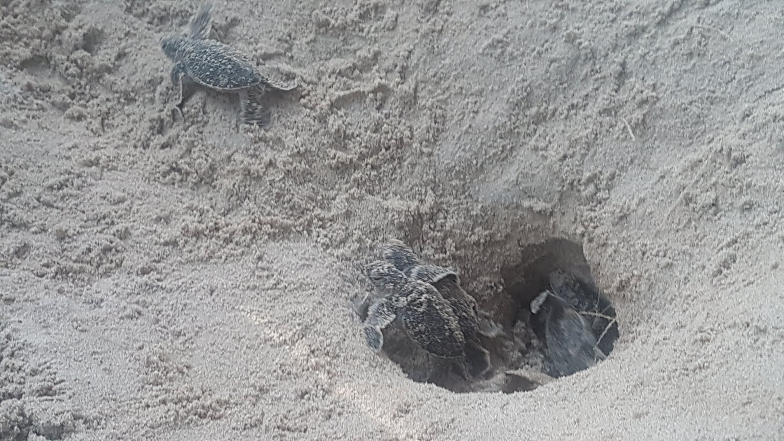 Releasing baby turtles in Cherating | Ummi Goes Where?