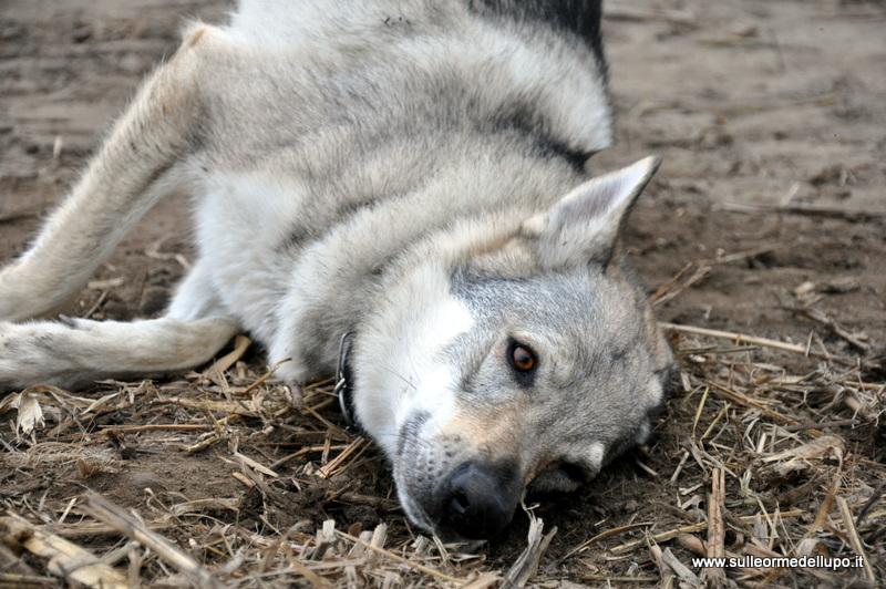 Foto gallery sulle orme del lupo cecoslovacco cane lupo for Sinonimo di autore