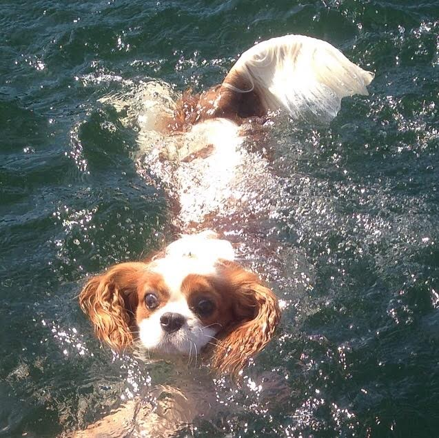 Blenheim Cavalier King Charles Spaniel swimming in lake in Bellingham, Washington