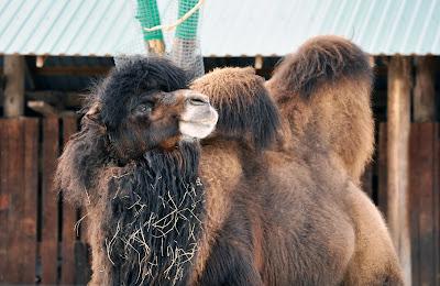Верблюд. Челябинский зоопарк. Февраль 2016