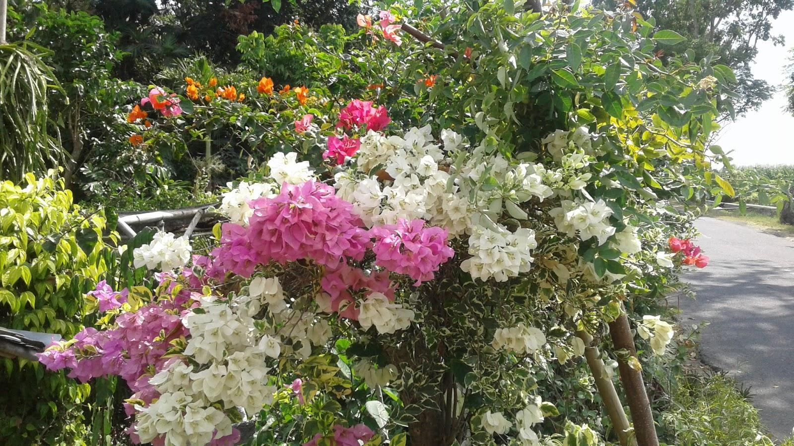 Cara Perawatan Tanaman Bunga Bougenville Informasi Utama