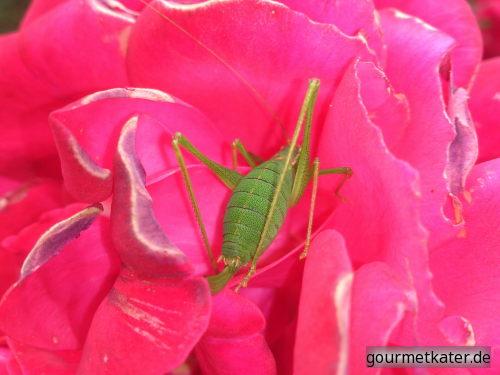 Rose mit Heuschrecke