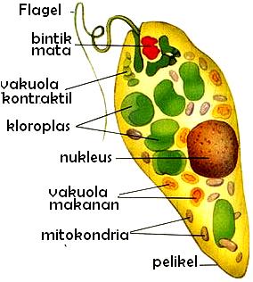 Flagellata (Pengertian, Ciri-Ciri, Klasifikasi & Reproduksi)