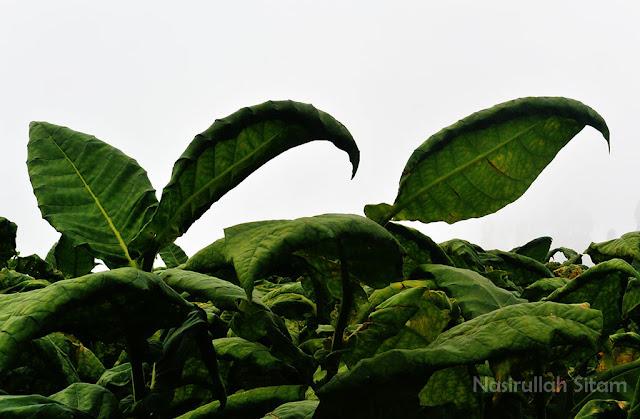 Tembakau tumbuh subur di area pertanian