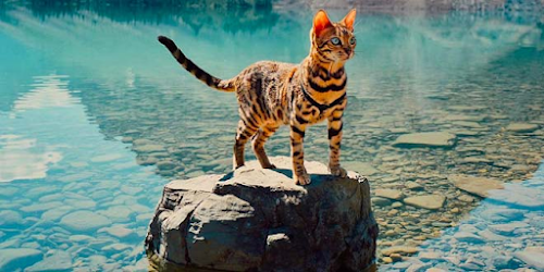 More Information and Pictures About Bengal Cat Breeds