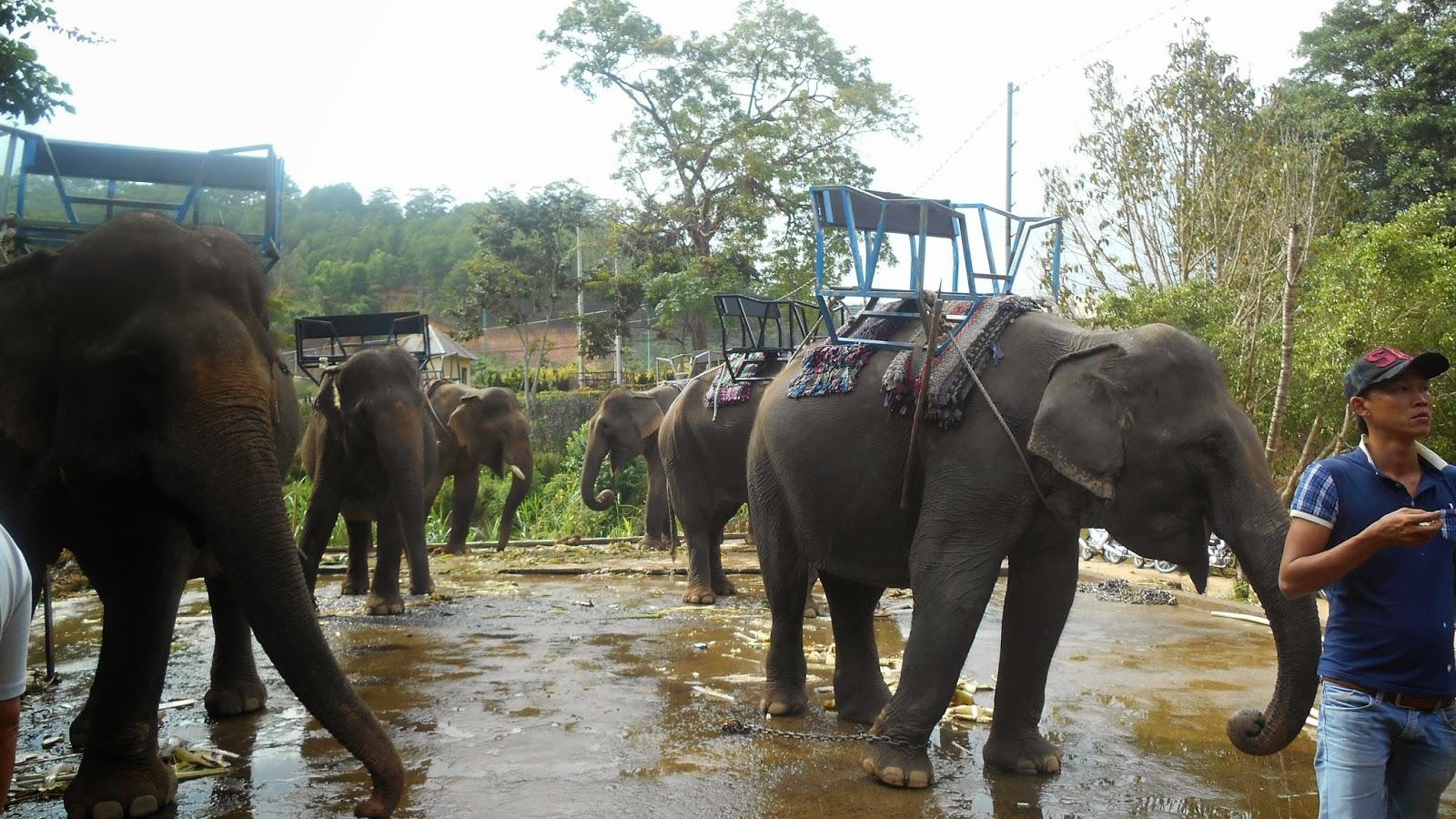 слоны  для желающих прокатиться