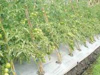 6 Cara Budidaya Tomat Menggunakan Mulsa Plastik