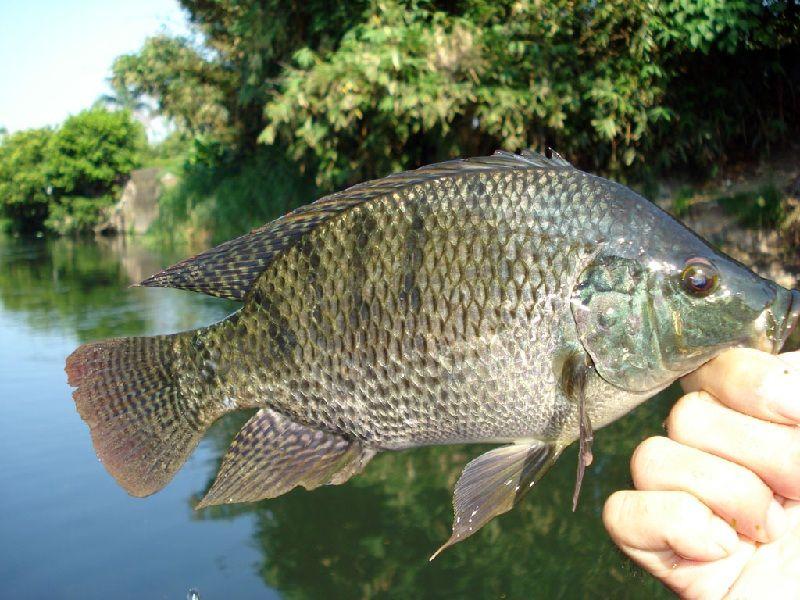 Gambar umpan ikan nila babon