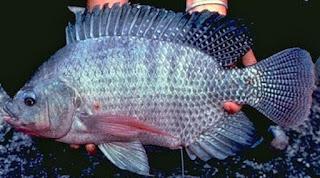 ikan nila liar