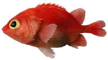 Peixe Fusquinha (Plectrypops retrospinis)