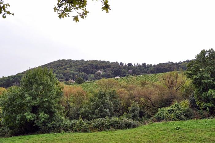 Wineyards in Kahlenberg