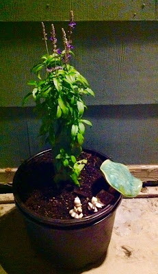 Potted Blue Salvia Annual in Container with Little Fairy Garden