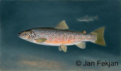 Bilde av digigrafiet 'Fjellørret'. Digitalt trykk laget på bakgrunn av et maleri av en fisk. Illustrasjon av fjellørret, Salmo trutta alpinus. Hovedmotivet er en svart- og rødprikket fisk, mot en bakgrunn av mørkt blått hav. I bakgrunnen sees konturene av en annen fisk. Bildet er i breddeformat.