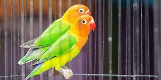 ANALISA PELUANG USAHA BUDIDAYA LOVEBIRD