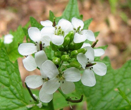 Czosnaczek pospolity (Alliaria petiolata)