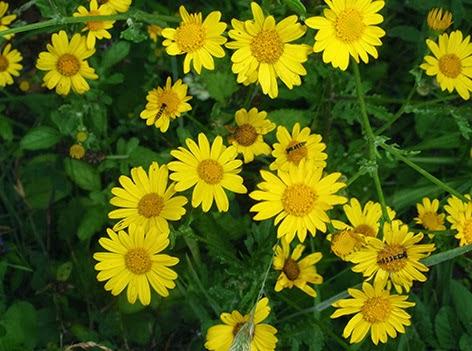 Ojo de los sembrados (Chrysanthemum segetum) flor amarilla